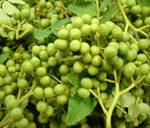 青山椒の実を収穫しました