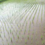 今年も田植えが済みました。