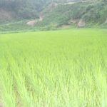 渡部さんの田んぼを見てきました。