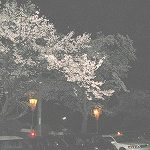 全国桜100選の木次の夜桜見てきました
