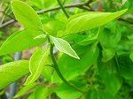 柿の葉茶の作り方